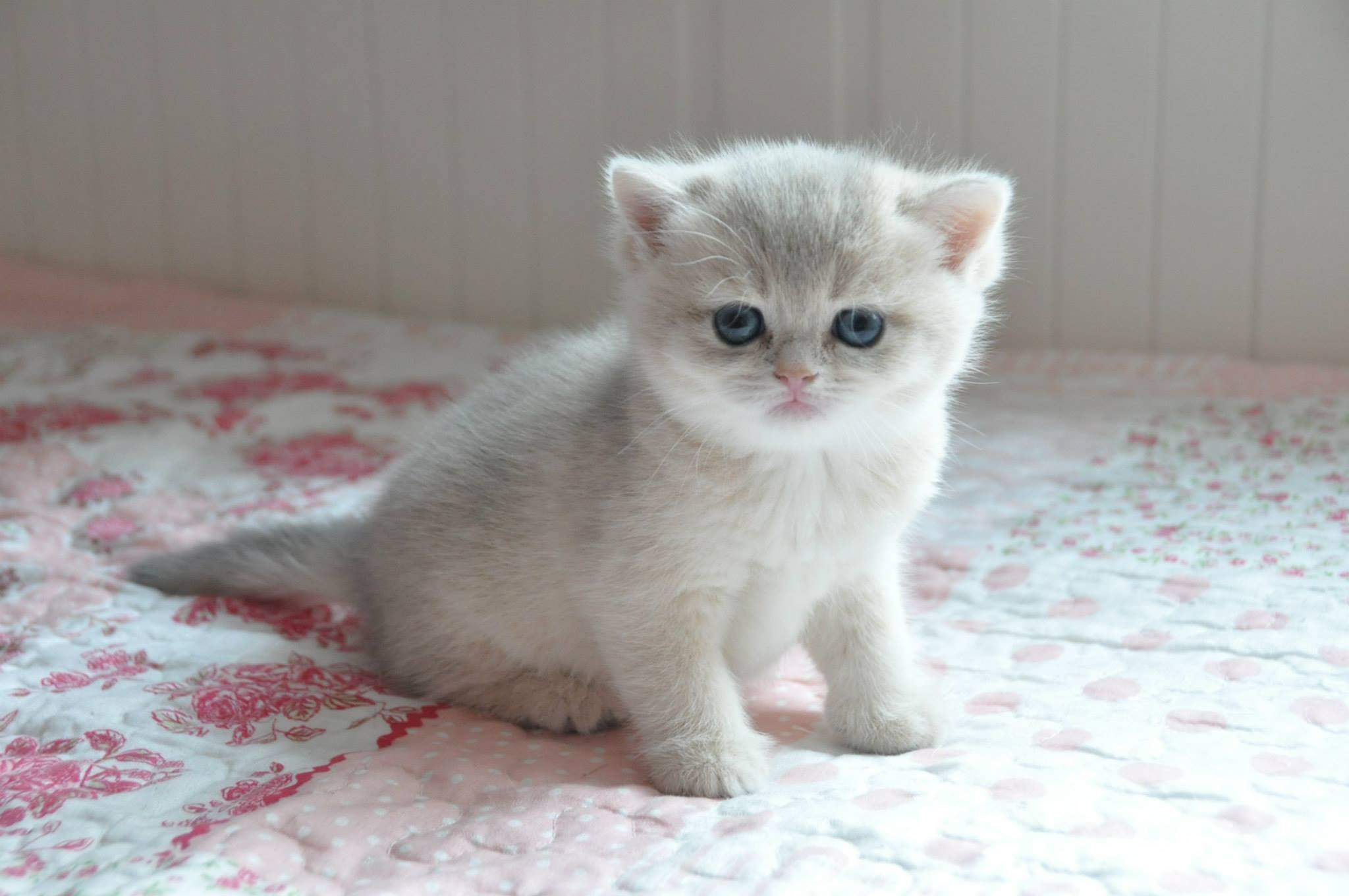 Wel e to Foxyland Cattery for golden shaded british shorthairs